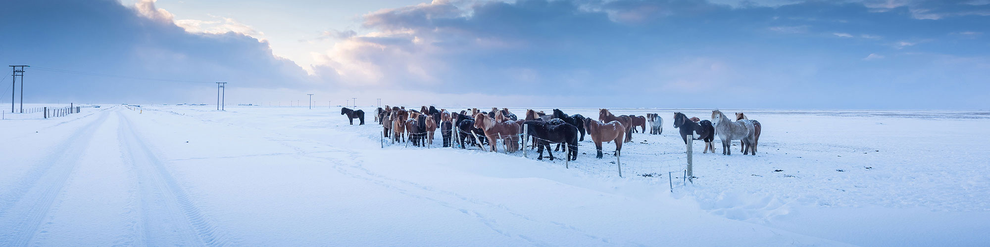 Icelandic Horses in Iceland Near Snow Covered Road